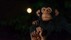 King Kong's wee Scottish pal! (grahamrobb888) Tags: nikon nikond800 d800 nikkor 3570mm flash speedlight sb700 moon monkey model ape