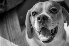 Simba's 5th Birthday (BLiTzBaLLeRx) Tags: bw sony xfujinon 119 f50mm nex 6 puggle pug beagle birthday happy smile furbaby alpha