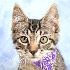 A36673836_Jewel4 (kentucky humane society) Tags: pet animal blue khs shelter dog white black cat tiger orange yellow