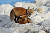 Fight Club (marylee.agnew) Tags: red fox kits siblings fight play hierarchy nature family wildlife canines outdoor