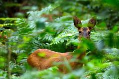 Si tu me vois, je te vois ! (Phil du Valois) Tags: chevreuil chevrette sauvage libre forêt domaniale retz villers cotterêts faune wild wildlife free roe deer