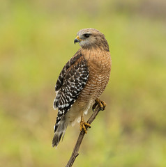Red-Shouldered Hawk (Gary McHale) Tags: red shouldered hawk myakka river state park florida wild free ngc npc