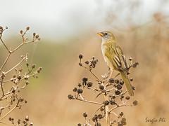 Verdón (Embernagra platensis) (Sergio Ali - Naturaleza en imágenes) Tags: verdón embernagraplatensis vera santafe argentina aves birds nature naturaleza pastizal wildlife