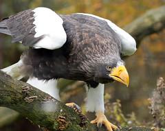 steller´s sea eagle blijdorp BB2A1223 (j.a.kok) Tags: arend zeearend eagle seaeagle stellerzeearend steller´sseaeagle blijdorp vogel bird birdofprey
