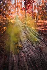 Puffball Mushrooms (ashercurri) Tags: puffball mushroom forest woodland woods fall autumn leaf leaves log tree trees sony nex nex7 nc north carolina youngsville wake green dust smoke