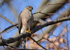 Sharp-shinned Hawk (JDA-Wildlife) Tags: birds birdsofprey raptors nikon nikond7100 tamronsp150600mmf563divc jdawildlife johnny portrait closeup eyecontact hawks hawksharpshinned sharpshinnedhawk wow gorgeous