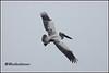 7364 - on flight (chandrasekaran a 44 lakhs views Thanks to all) Tags: spotbilledpelican pelican birds flight nature india nelapattu ap canoneos6dmarkii tamronsp150600mmg2