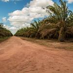 Oil palm in Brazil thumbnail
