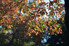 20171207 近所の緑道【ナンキンハゼ】 (syashindorakunin) Tags: 近所の緑道 黄葉 autumnleaves triadicasebifera japan greenroadinthenearfield
