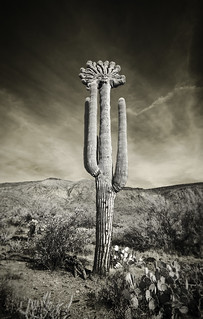 Saguaro of the Aztecs