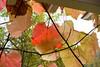 Bad Mergentheim. Kurpark / spa gardens (wwwuppertal) Tags: badmergentheim franken badenwürttemberg kurpark kurort spa spagardens herbst autumn fall bäume park weinlaub vineleaves herbstblätter fallfoliage