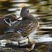 Wood Duck / Canard branchu / Wood Duck / Aix sponsa