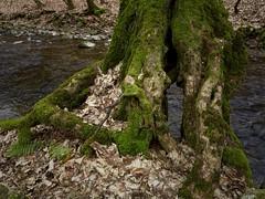 Am Erlenbach (nordelch61) Tags: hessen mittelgebirge usingen taunus hochtaunus erlenbach wildbach wurzeln baum bäume moos wasser steine natur