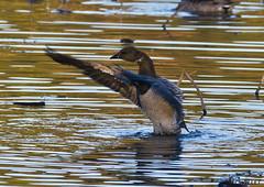 101817072475asmweb (ecwillet) Tags: brant brantgoose goose wildwoodparkharrisburgpa nikon ecwillet ericwillet