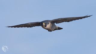 Peregrine Falcons of Alpine | 2107 - 14