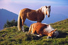 horses in the morning (basic hiking) Tags: italy lombardy triangololariano italien horse pferd alpen berge sleeping meadow brown haflinger sonyalpha a5100 ilce5100 selp1650