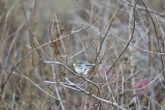 Yellow-rumped Warbler   Coyote Hills Regional Park (TariqhCN) Tags: nikon d810 dslr birds grey flycatcher sigma 150600 mm contemporaneity nature