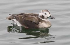 Long-tailed Duck (Clangula hyemalis) (Gavin Edmondstone) Tags: clangulahyemalis longtailedduck bronteharbour oakville ontario