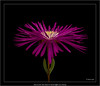 Nikon D3 with  Micro Nikkor PC 85mm/2.8@f/9, focus stacking of 27 shots (Dierk Topp) Tags: heliconfocus macro blumen flowers focusstacking helicon nikkor 85mm28 d3 micronikkorpc85mm28