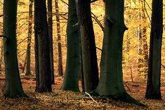 Herbstgold (Petra Runge) Tags: wald forest woodland herbst natur autumn nature colors farben buchen baum germany