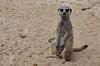 suricate (soyer_rodrigue) Tags: nikon d5100 suricate zoo lilles france