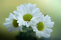 chrysanthemum 1882 (junjiaoyama) Tags: japan flower chrysanthemum mum plant white autumn fall