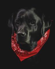 Bailey (NYRBlue94) Tags: black lab labrador retriever bailey contrast light dark shadow red portrait