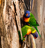Rainbow Lorikeet - Banksia Beach_ (Antony Allison) Tags: birds bribieisland lorikeets