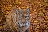 Zutraulicher Luchs 😻 (Christian Passi - Steher82) Tags: luchs lux animal animals cat katze wald forest fall eyes eye echt sony a6000 sonya6000 autumn wild wildlife selp18105g rombergpark germany lnyx tier ohr ear