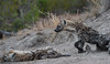 Spotted Hyena, Timbavati (Mike/Claire) Tags: hyenapup 2016 southafrica tandatula timbavati