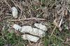 Lynx scat (Hans Van Loy) Tags: carnivora dieren euraziatischelynx europa gewervelden katten landenenplaatsen lynxlynx polen roofdieren sporen uitwerpselen zoogdieren