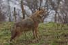 2017-03-09-Rheine-0638.jpg (BZD1) Tags: natuur nature goudjakhals naturzoorheine goldenjackal carnivore canisaureus mammal animal rheine nordrheinwestfalen duitsland de