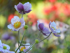"""""""Adopt the pace of nature, her secret is patience"""" Ralph Waldo Emerson (NaturewithMar) Tags: autumn macro flower anemone garden plant park wisconsin fall 2017"""