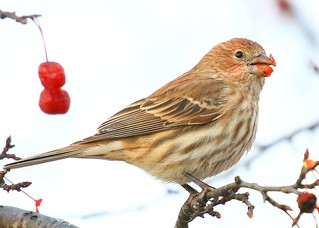 house finch female eating crabapples in Lime Springs IA 854A8966