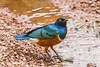 African Starling (andymulhearn) Tags: chester zoo eos7d ef70200mmf4lusm