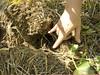 Crops_NR_39 (NRCS Montana) Tags: soil soils soilhealth farm farming farmland alternativecrops notill drylandfarming baker mt oconnor corn soybean volunteer root conservationtillage