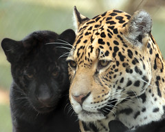 jaguar artis BB2A9585 (j.a.kok) Tags: jaguar jaguarcub jaguarwelp zwartejaguar blackjaguar pantheraonca rica artis animal kat cat mammal zoogdier dier southamerica zuidamerika predator