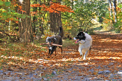 Running Like The Wind (Pasji_horizont) Tags: animal adventure autumn autumnwiev agventureswithdog bordercollie canine colorfull dog dogs doghappy doghiking doglove dogplay dogpair forest fall landscape nature outdoor pasjihorizont pet paws playfull puppy playing play pets running shepherd tree vremscica