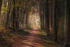Forest walk (Sebo23) Tags: forest wald licht lichtstimmung light autumn autumnmood herbst hersbstimmung nature naturaufnahme natur landscape landschaft landschaftsaufnahme canon6d canon10028l