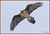 Gypaète 170315-23-RP (paul.vetter) Tags: oiseau ornithologie ornithology faune animal bird gypaètebarbu gypaetusbarbatus bartgeier quebrantahuesos beardedvulture vautour rapace