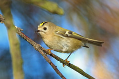 Goldcrest, Kilminning, Fife, Scotland (Terathopius) Tags: goldcrest kilminning fife scotland unitedkingdom uk greatbritain gb regulusregulus regulusregulusregulus wintergoldhähnchen