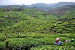 India - Kerala - Munnar - Tea Plantagen - Harvest - 238 (asienman) Tags: india kerala munnar teaplantagen asienmanphotography