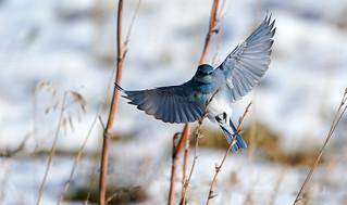 Mountain Bluebird Landing