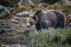 Get Off My Beach! (Richard Davy - The World As I See It) Tags: grizzlybear grizzly bear animal wildlife canada britishcolumbia beach rocks seaweed stones kelp mussels wild