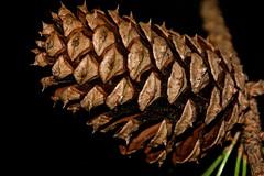 Pinecone (deanrr) Tags: pinecone macromondays stonerhymingzone november202017 monday prickly needles pine tree blackbackground morgancountyalabama alabama alabamanature macro wood plant closeup patterns texture