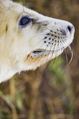 Seal Pup (P.P.P ( point - press - pray )) Tags: seals lincolnshire donnanook