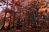 Cajun spirit (Pierrotg2g) Tags: cyprèschauves boulieu isère dauphiné france nikon d90 tokina 1228 paysage landscape nature arbres trees