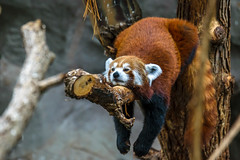 Totally Relaxed (FJMaiers) Tags: panda redpanda minnesota zoo applevalley minnesotazoo relax relaxing d5300 nikon