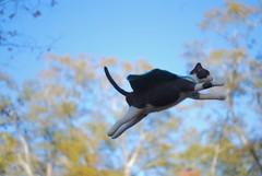 Super Thomas (rootcrop54) Tags: needle felted needlefelting wool cat sculpture miniature superhero flying cape ooak neko macska kedi 猫 kočka kissa γάτα köttur kucing gatto 고양이 kaķis katė katt katze katzen kot кошка mačka gatos maček kitteh chat ネコ 9incheslong art