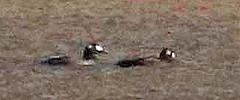 CAE007582a (jerryoldenettel) Tags: 171124 2017 anatidae anseriformes bluewaterlake cibolaco melanitta melanittadeglandi nm scoter whitewingedscoters bird divingduck duck